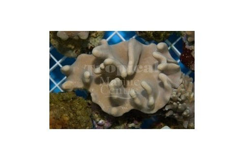 Cultured Toadstool Knobbly (Sarcophyton spp) - Marine World Aquatics