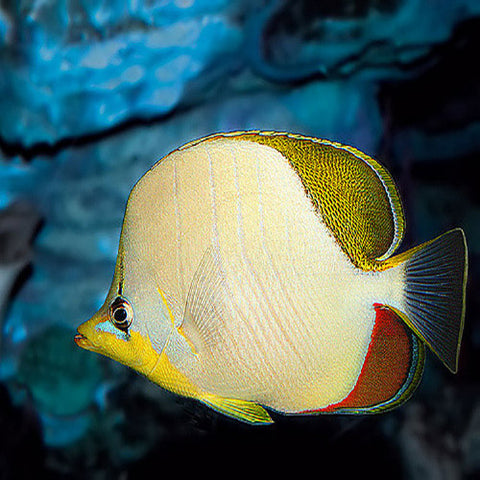 Gold Rim Butterfly (Chaetodon xanthocephalus), Fish by marineworld.co.uk