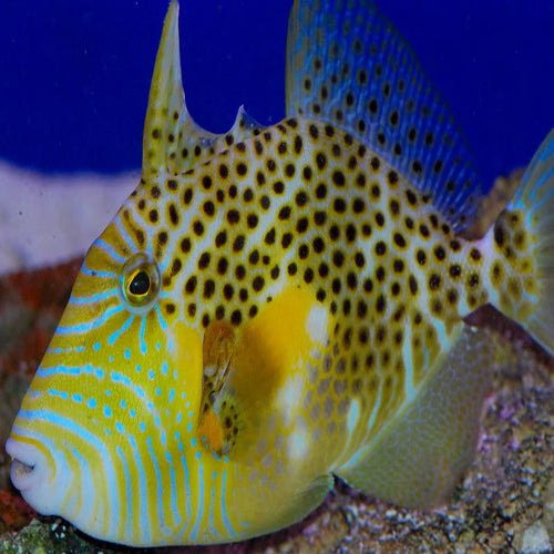 Golden Heart Trigger (Balistes punctatus), Fish by marineworld.co.uk
