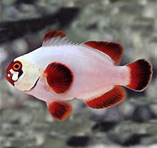 Tank Bred Clown - Maroon Gold Nugget-(Premnas biaculeatus) - Marine World Aquatics