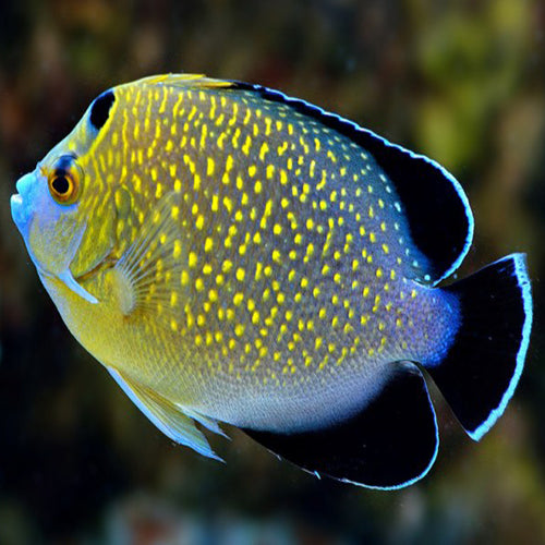 Goldflake Angel (Apolemichthys xanthopunctatus) - Marine World Aquatics