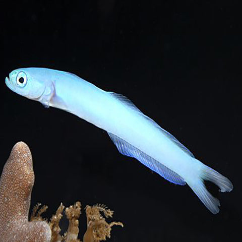 Gudgeon - Blue (Ptereleotris heteroptera) - Marine World Aquatics