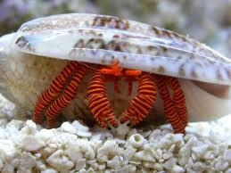 Halloween Hermit Crab (Ciliopagurus strigatus) - Marine World Aquatics
