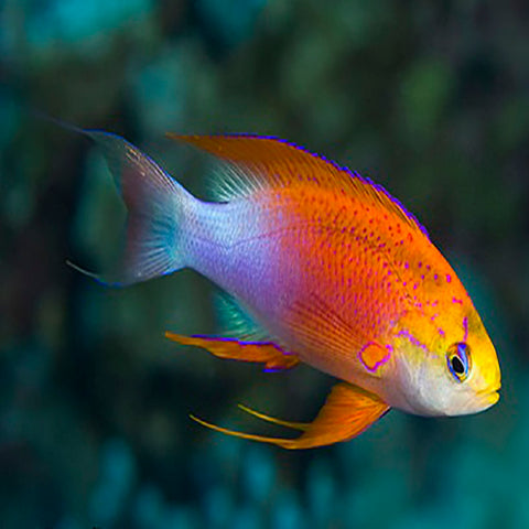 Hawaiian Long Fin Anthias (Pseudanthias hawaiiensis) - Marine World Aquatics