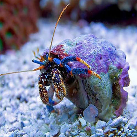 Hermit Crab - Blue Leg (Clibanarius tricolor), Livestock by marineworld.co.uk