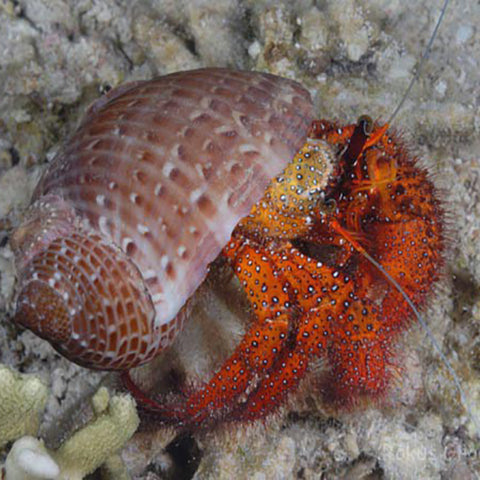Hermit Crab - Red Hairy (Dardanus megistos), Livestock by marineworld.co.uk
