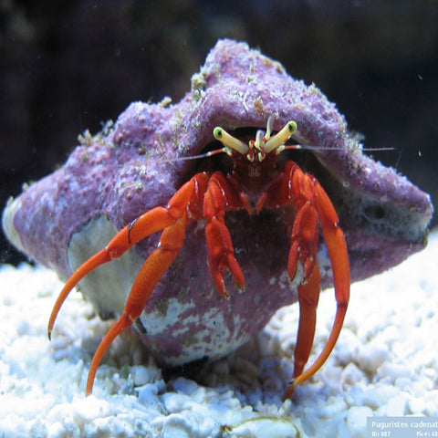 Hermit Crab - Red Leg (Paguristes Cadenati)., Livestock by marineworld.co.uk