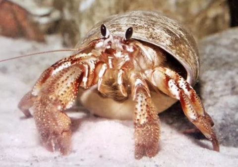 Hermit Crab - Common-Algae Eating - Marine World Aquatics