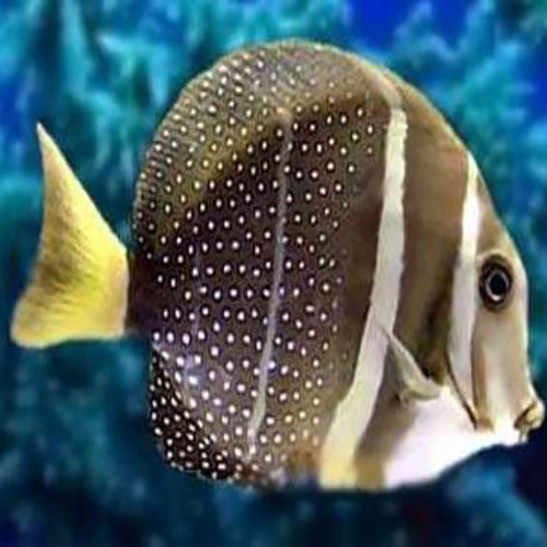 Jewel Tang (Acanthurus guttatus), Fish by marineworld.co.uk