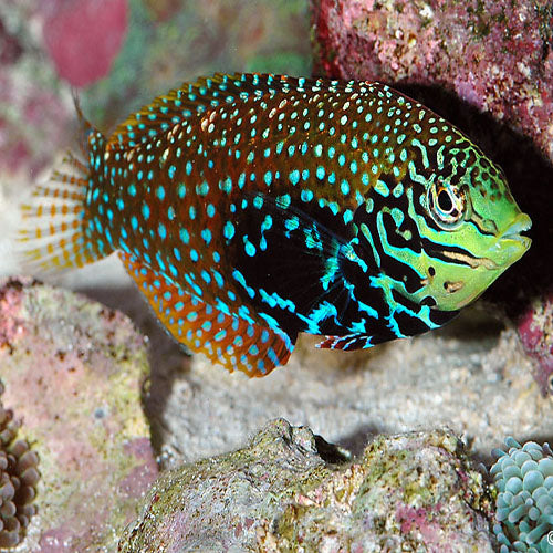 Leopard Wrasse - False (Macropharyngodon ornatus) - Marine World Aquatics
