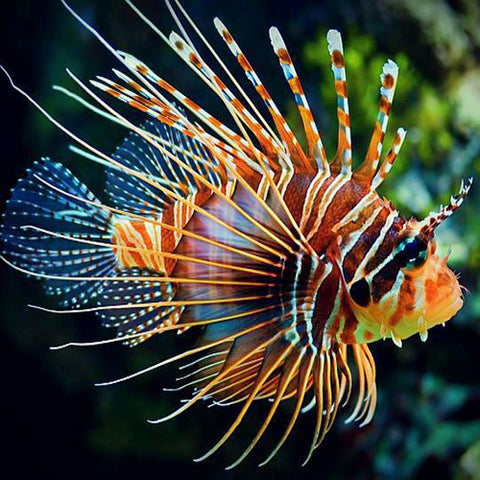 Lion - Antennata (Pterois antennata), Fish by marineworld.co.uk