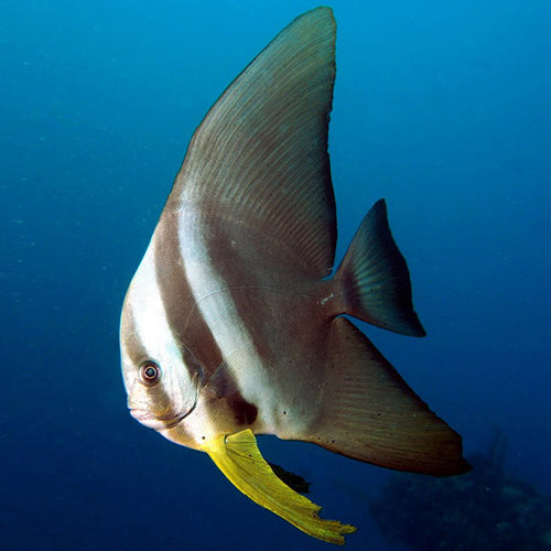 Longfin Batfish (Platax teira) - Marine World Aquatics