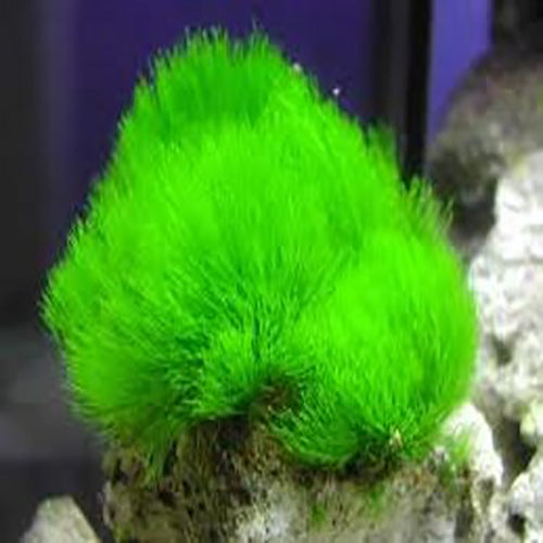 Maidens Hair Algae (Chlorodesmis spp.) - Marine World Aquatics