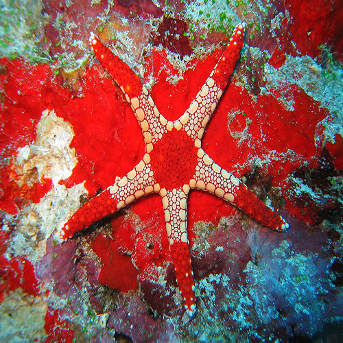 Marble Starfish (Fromia spp.) - Marine World Aquatics