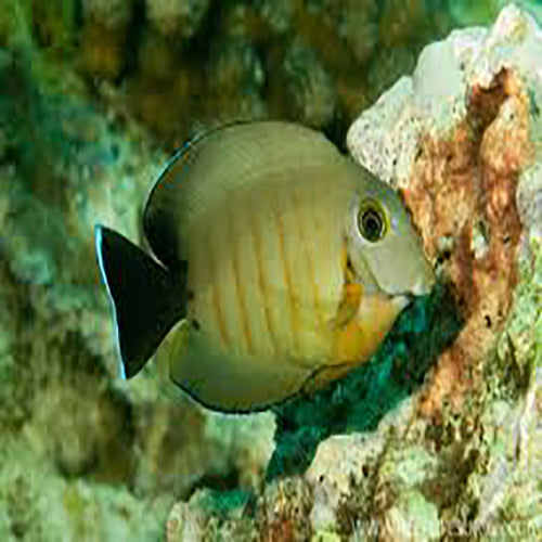 Mimic Tang - Red Stripe (Acanthurus tristis), Fish by marineworld.co.uk