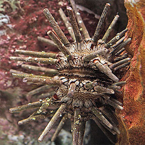 Mine Urchin (Eucidaris tribuloides) - Marine World Aquatics