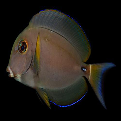 Pale Lip Tang (Acanthurus leucocheilus), Fish by marineworld.co.uk