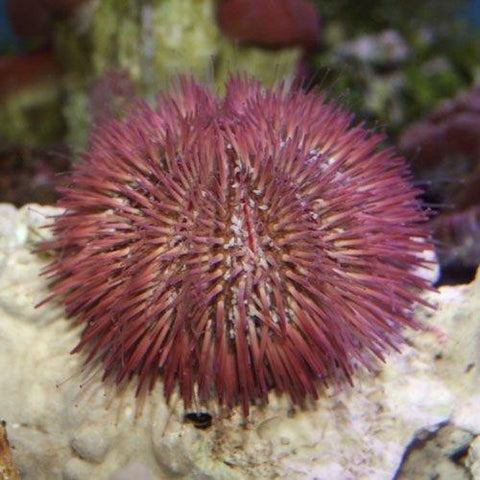 Pincushion Urchin (Lytechinus variegatus) - Marine World Aquatics
