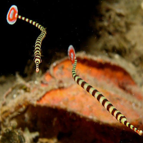 Pipefish - Banded (Dunckerocampus dactyliophorus), Fish by marineworld.co.uk
