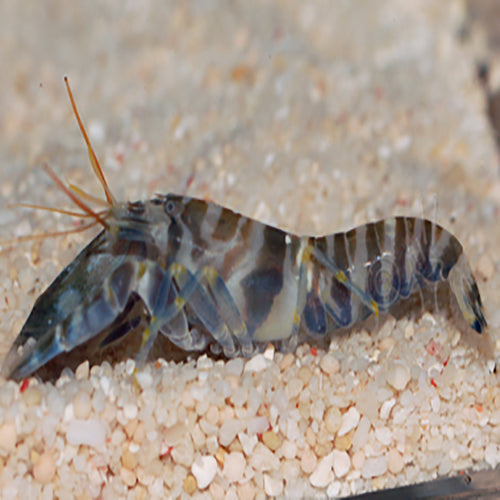 Pistol Shrimp (Alpheus spp.) - Marine World Aquatics