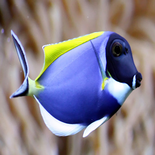 Powder Blue Tang (Acanthurus leucosternon), Fish by marineworld.co.uk