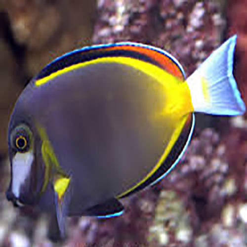 Powder Brown Tang (Acanthurus nigricans) - Marine World Aquatics