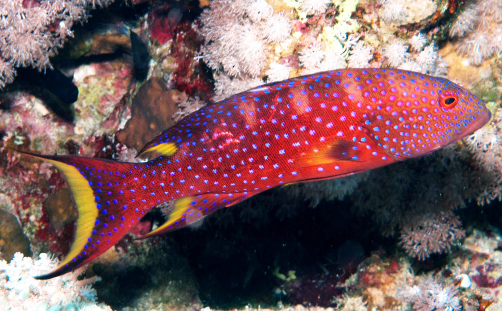 Purple Lyre Tail Grouper (Variola louti) - Marine World Aquatics