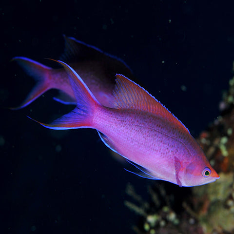 Purple Queen Anthias (Pseudanthias tuka) - Marine World Aquatics