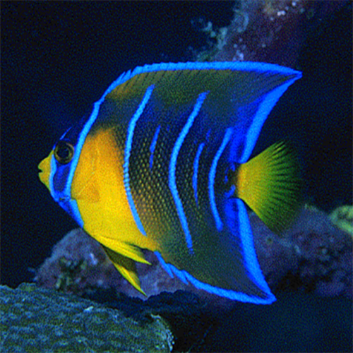 J And J Corals Queen Angel : J (Holac...