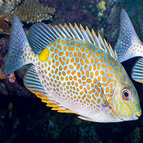 Rabbit - Orange Spot (Siganus guttatus) - Marine World Aquatics