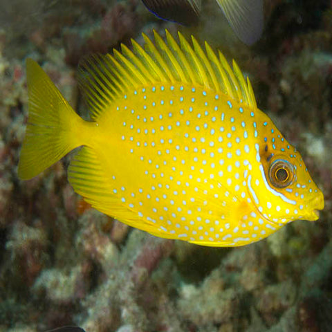 Rabbit - Yellow (Fiji) (Siganus corallinus), Fish by marineworld.co.uk