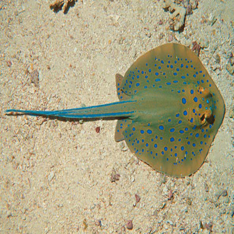 Blue Spotted Stingray(Taeniura lymna) - Marine World Aquatics
