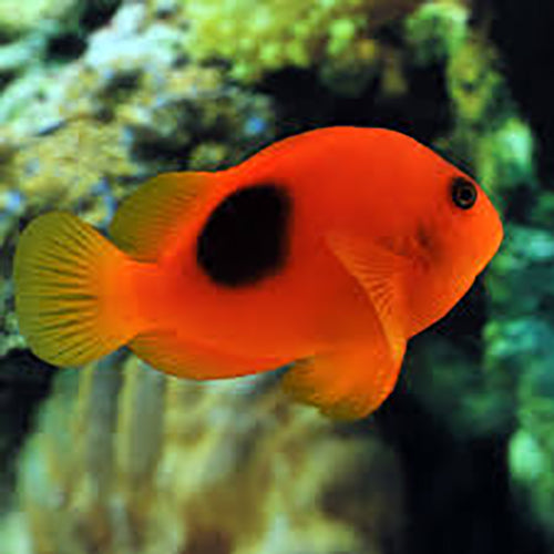 Red Clown - Saddle (Amphiprion ephippium) - Marine World Aquatics