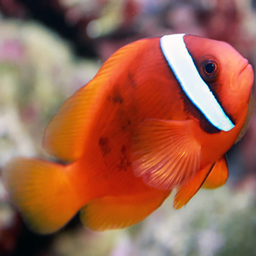 Red Clown - Tomato (Amphiprion frenatus), Fish by marineworld.co.uk