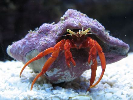 X10 Red Leg Hermit Crab (Clibanarius digueti) mexican  Deal - Marine World Aquatics