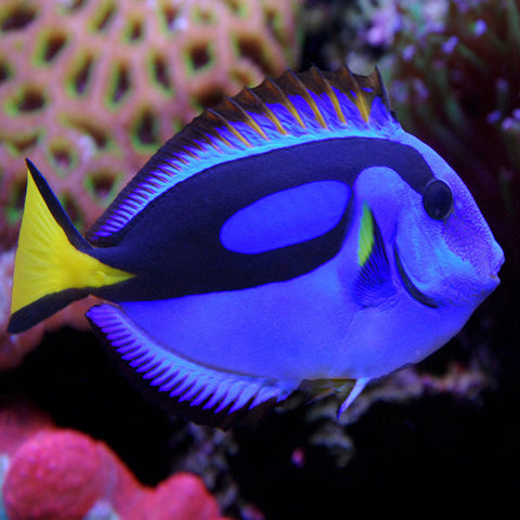 Regal Tang (Paracanthurus hepatus), Fish by marineworld.co.uk