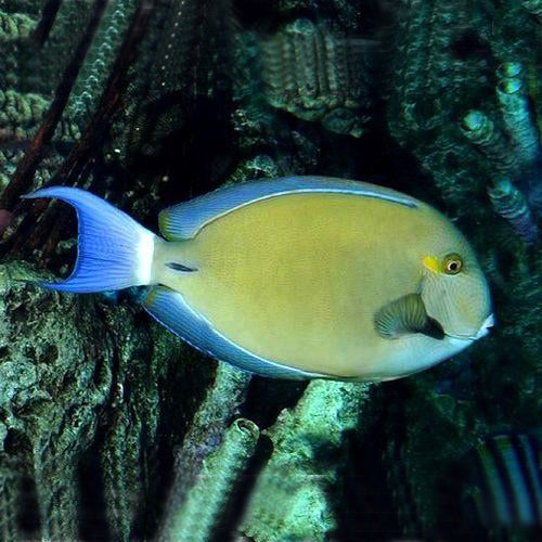Ring Tail Tang (Acanthurus blochii) - Marine World Aquatics