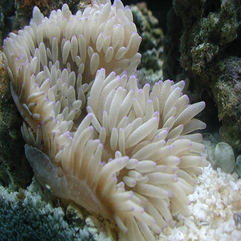 Ritteri Anemone - Common, Livestock by marineworld.co.uk