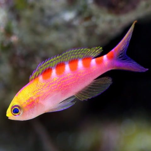 Saddleback Anthias (Pseudanthias flavoguttatus) - Marine World Aquatics