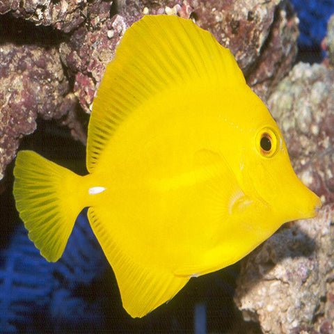 Yellow Tang (Zebrasoma flavescens) - Marine World Aquatics