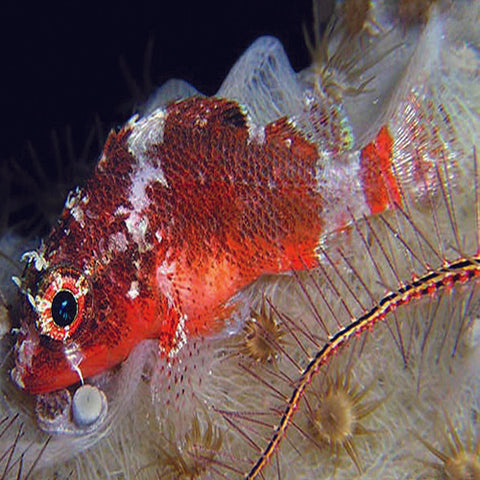 Scorpino (Scorpaenodes spp), Fish by marineworld.co.uk