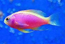 Scribbled Anthias (Pseudanthias Bimaculatus) - Marine World Aquatics