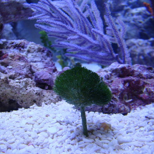 Shaving Brush Algae (Penicillus capitatus) - Marine World Aquatics