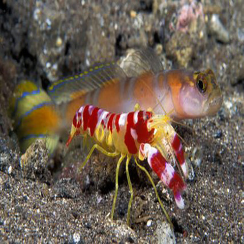 Shrimp/Goby Pair (£), Livestock by marineworld.co.uk