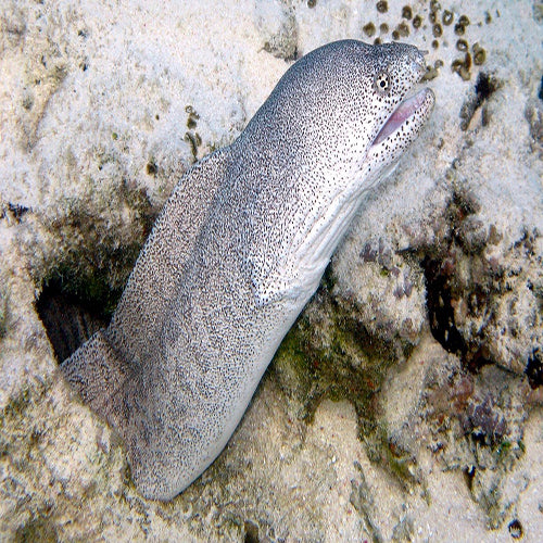 Sideria Eel (Sideria picta) - Marine World Aquatics