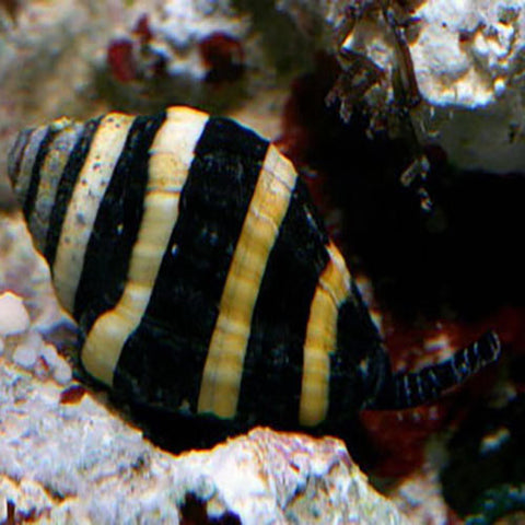 Snail - Bumble Bee (Engina mendicaria) - Marine World Aquatics