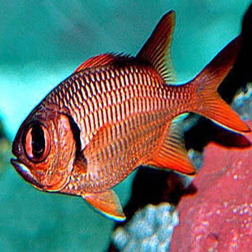 Soldier Fish - Common (Myripristis spp.) - Marine World Aquatics
