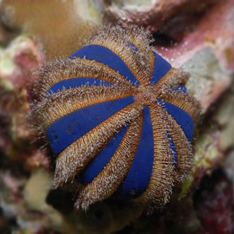 Spineless Urchin - Red/Blue (Mespilia globulus) - Marine World Aquatics