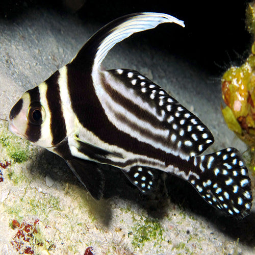 Spotted Drum Sweetlips (Equetus punctatus) - Marine World Aquatics