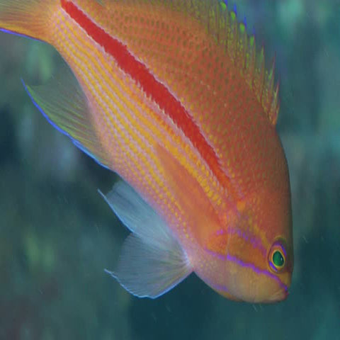 Striped Anthias (Pseudanthias fasciatus) - Marine World Aquatics